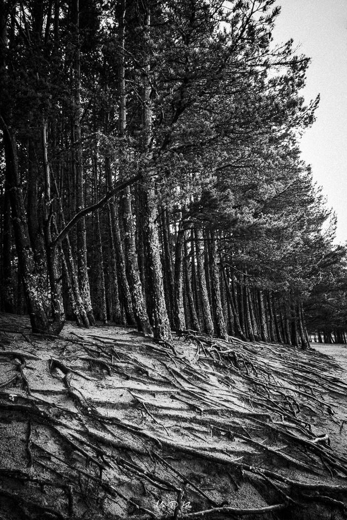 Image of scottish pines by Loch Morlich