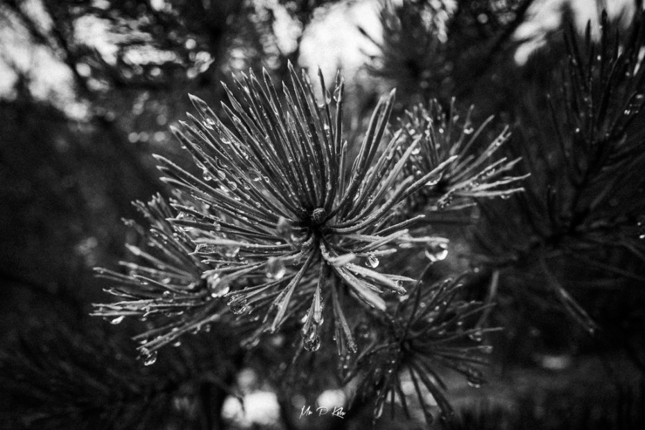 Image of Scottish Pines of the Glenmore Forest Park by Loch Morlich