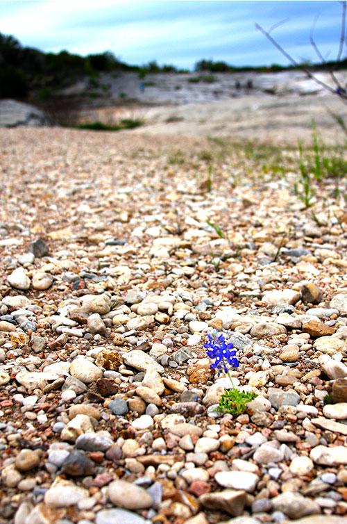 Lonely Bluebonnet in Rocks