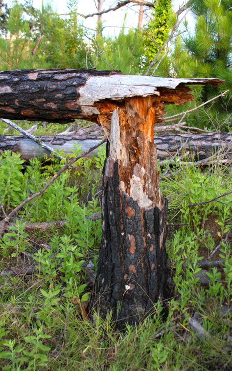 Burnt Tree in Bastrop State Park