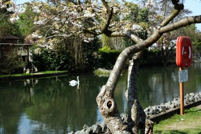 Ray Mill Island Swan