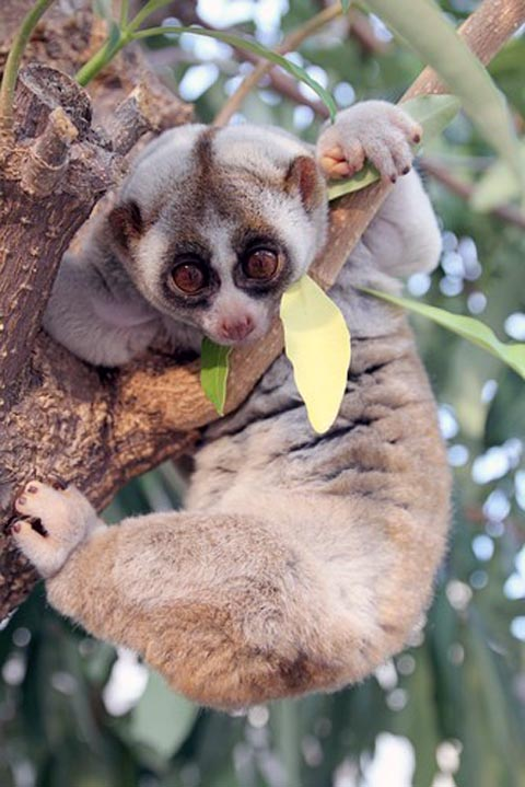 Slow Loris from Daily Squee