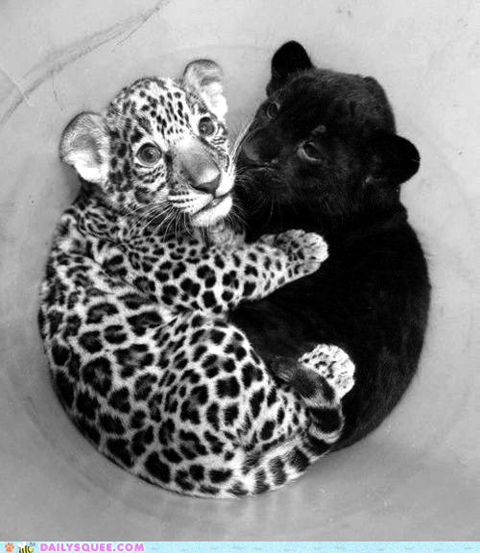 Leopard and toy leopard via Daily Squee