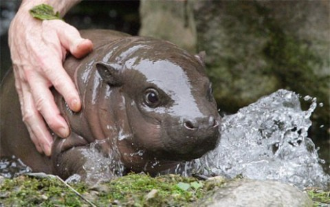 haht a cute Baby Hippo via Daily Squee