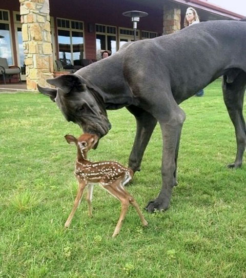 Baby Deer Thinks The Dog Is Its Mom via Daily Squee