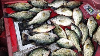 Offer a crappie a meal and it'll eat