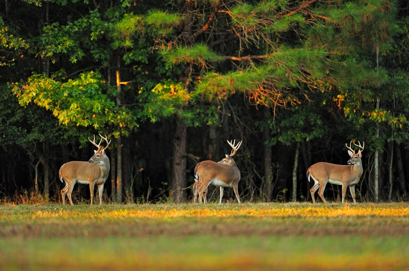 Three bucks move along the edge of a timber stand and a field.