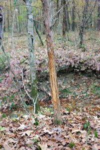 Find trees deer tear up every season, like this cedar, to identify prime ambush spots.