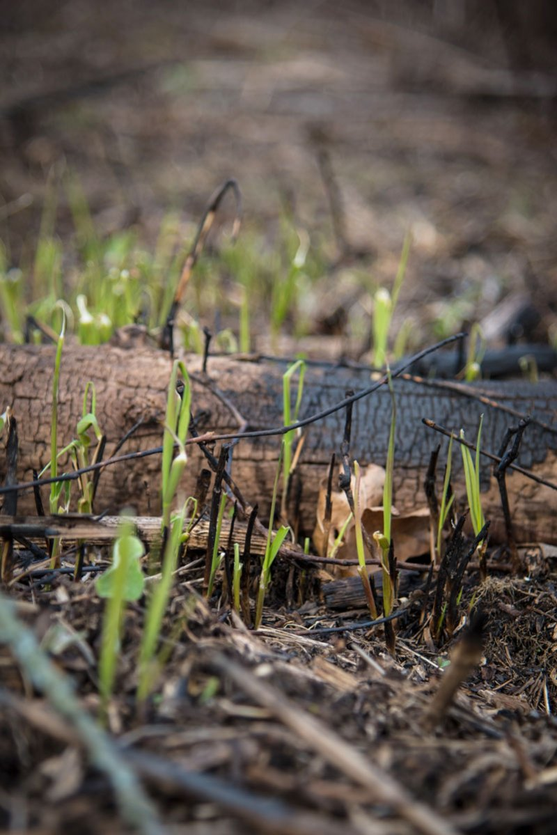 Newly burned areas encourage growth of all sorts of plants; turkeys will feed on the tender shoots in winter and spring.