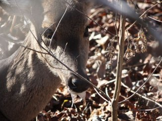 """Scientists dispute findings by Dr. Frank Bastian, an LSU researcher, that he has discovered a cure for chronic wasting disease, coined by popular media as """"Zombie Deer Disease"""" because infected deer often salivate heavily, look lost, are emaciated and confused. (Photo courtesy Arkansas Game and Fish Commission)"""