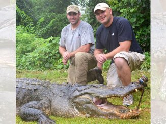 Alligator hunters will have 960 permits for the 2019 season, up from 930 in 2018.