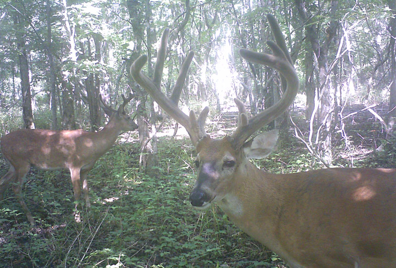 This buck looking at the author's self-painted camera wasn't spooked and returned many times.