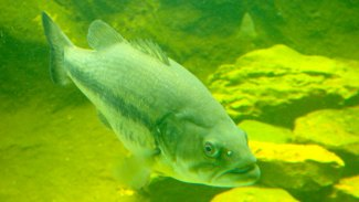 Fish Pickwick for big numbers of July bass