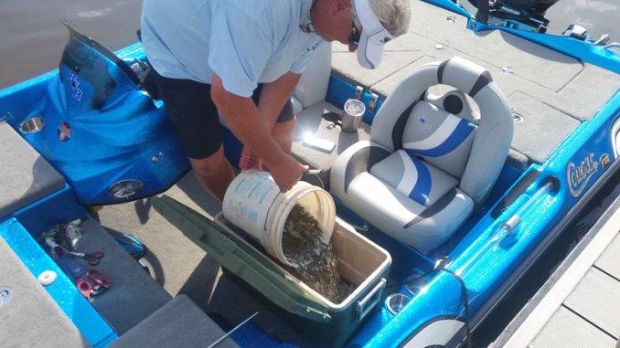 A fishermen loads fingerlings of Florida-strain largemouth bass into a cooler for release in Ross Barnett Reservoir.