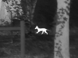 Nothing can escape detection with a thermal optic. Here is a coyote on the run in the white-hot color pallet.