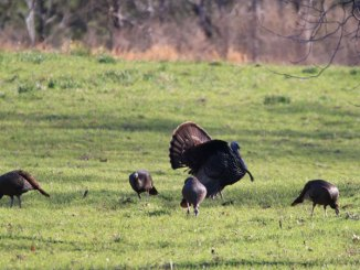 Mature toms are now getting with hens right after fly-down and following closely behind. (Photo by Andy Douglas)