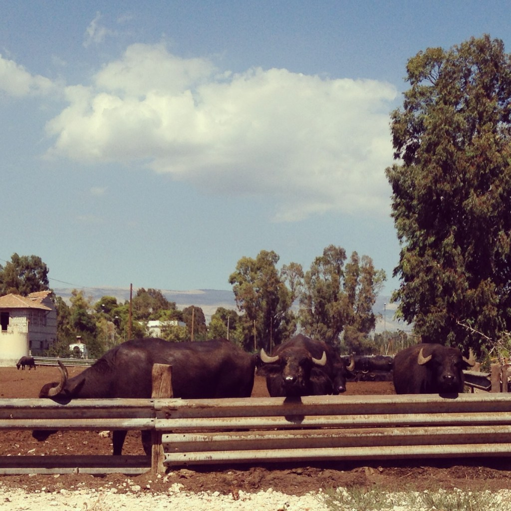 Buffalo in Italy, Ms. Adventures in Italy by Sara Rosso