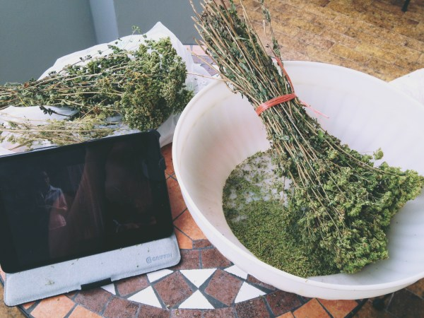 Stripping oregano, on Ms. Adventures in Italy by Sara Rosso