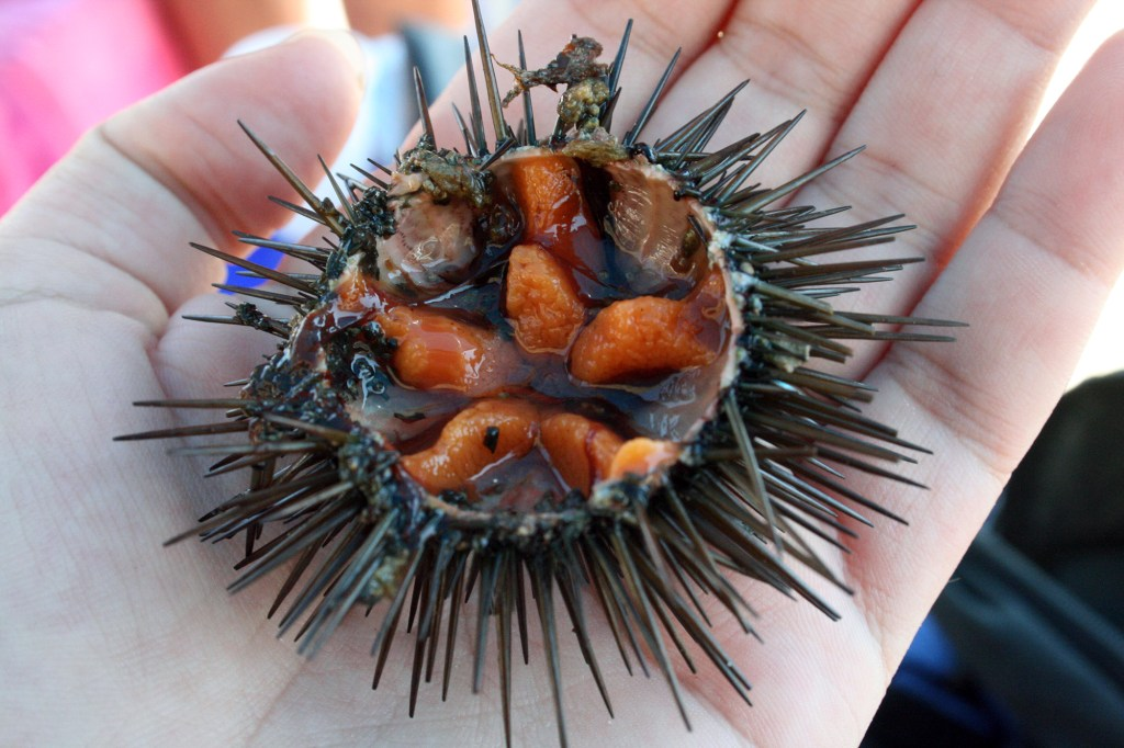 Ricci di mare, sea urchins, Ms. Adventures in Italy, by Sara Rosso