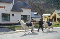 Des Alpacas bien chargés