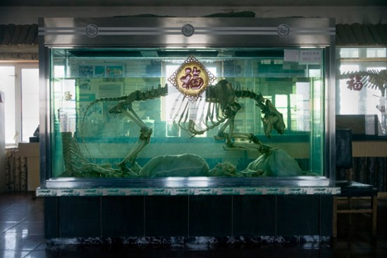 A tiger skeleton stands in a vat of tiger bone wine at the Siberian Tiger Park in Haerbin, Heilongjiang Province, China. Image used in Tiger Farms episode of Current TV Vanguard.