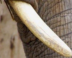 Kość słoniowa 10