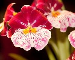 Orchidea  22
