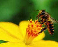 Pszczoła 40