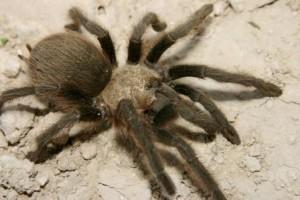 Znaczenie snu tarantula