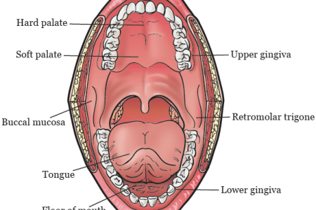 interior hard palate vs soft palate » 4K Pictures   4K Pictures ...