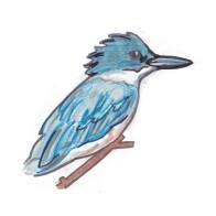 beltedkingfisher
