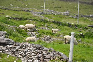 Sheep Grazing, Dingle Peninsula, Ireland