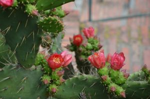 Flowering Cactus near Corniglia, Cinque Terre, Italy