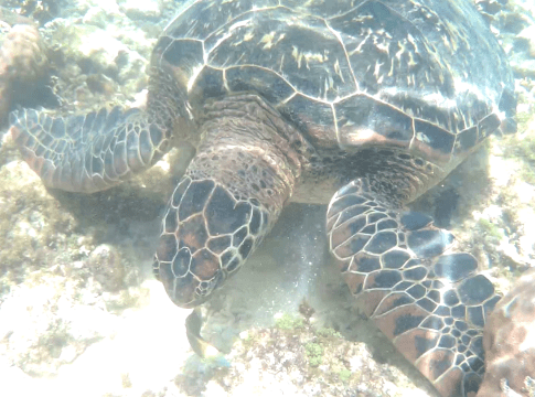 Swimming with Sea Turtles in Apo Island