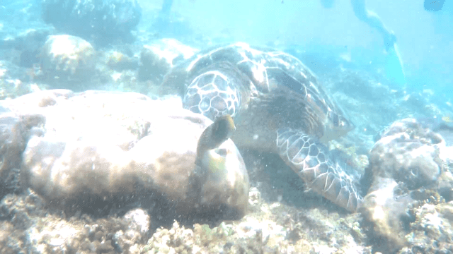 Sea Turtle in Apo Island