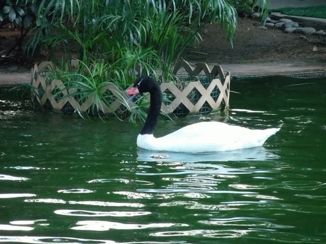 swan at Kowloon