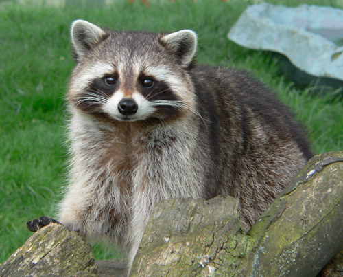 Cuddly Raccoon