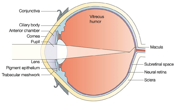 Anatomy Of The Eye Red Rover Ventures
