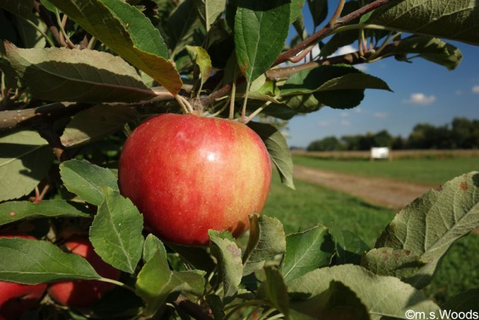 apple-in-beasleys-orchard-danville-indiana