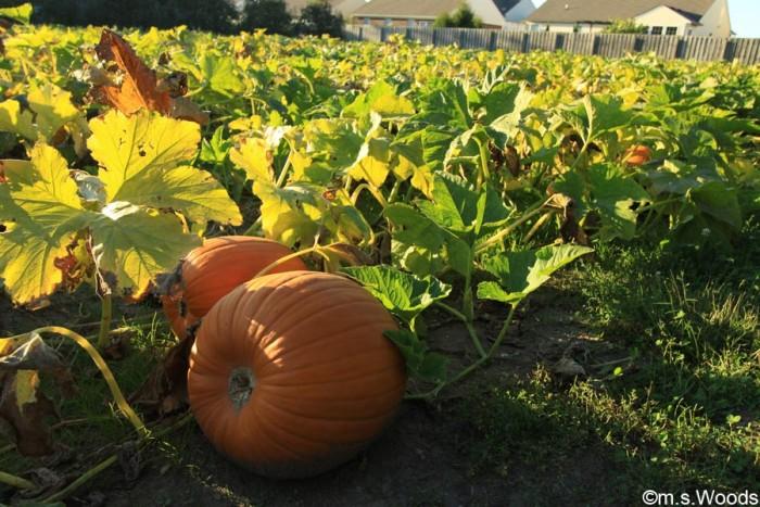 adrian-orchards-pumpkin