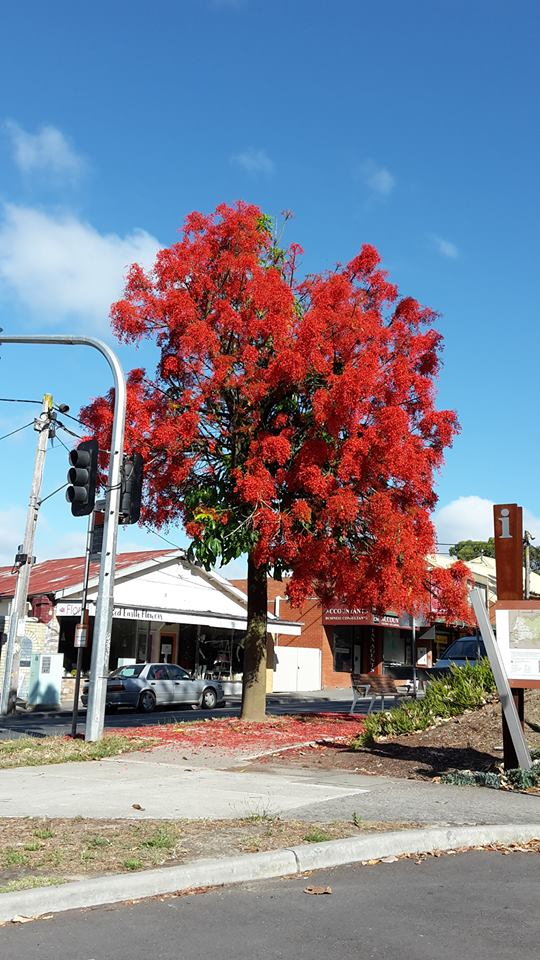 Flame Tree, photo by Carolyn Dare