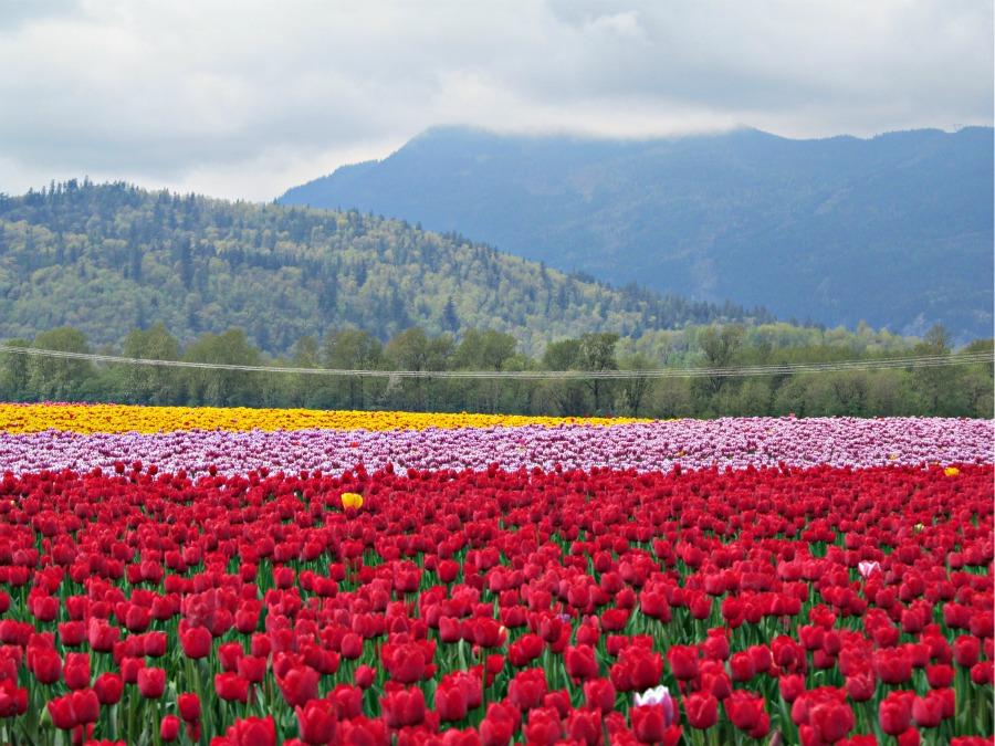 фестиваль тюльпанов, Ванкувер