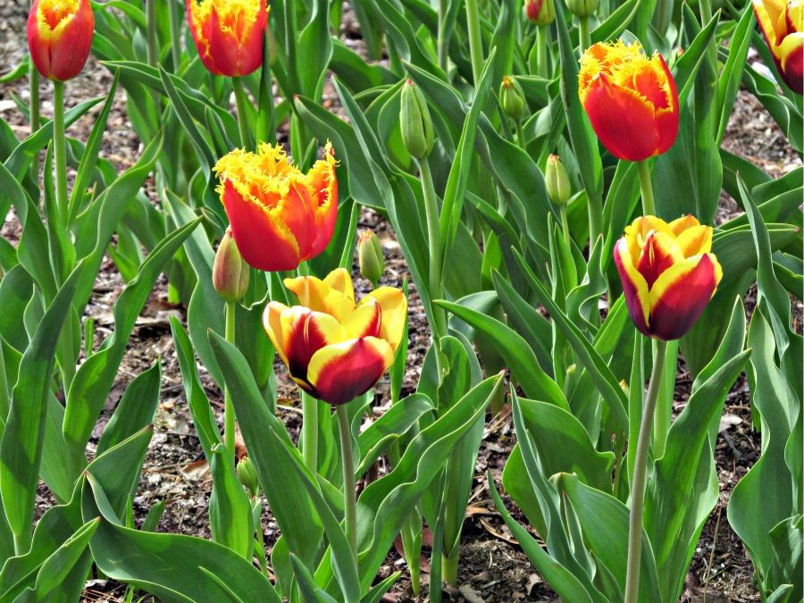 Тюльпаны в Виктории