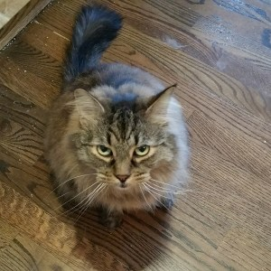 A maine coon cat looking unimpressed