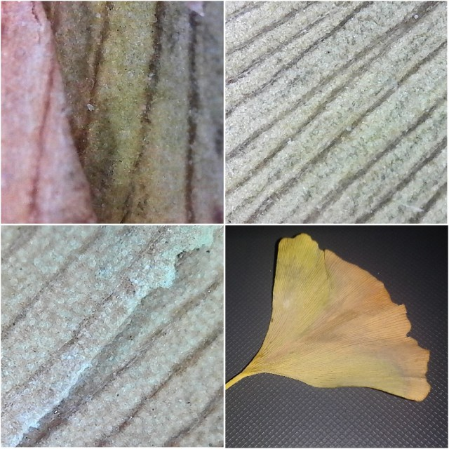 A single fan-shaped ginkgo leak and three images of it from a microscope.