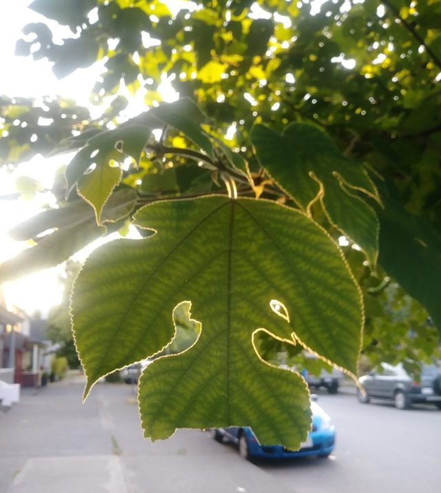 A leaf with natural heart cutouts, lit from behind.