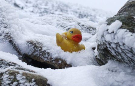 snowduck