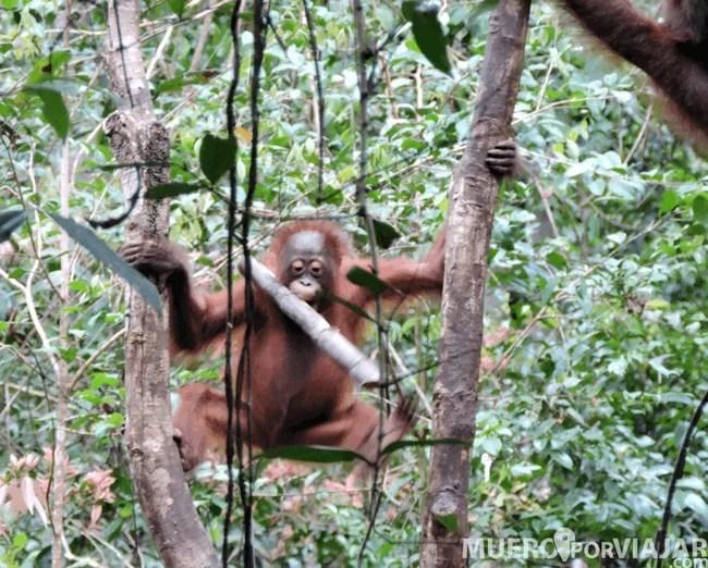 Los pequeños orangutanes aparecen por todas partes, se mueven entre los arboles