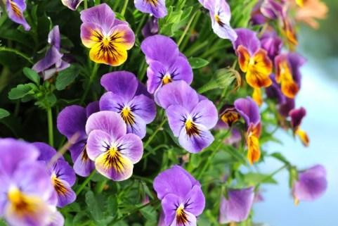 ดอกแพนซี่ ภาพจาก http://www.flowermeaning.com/pansy-flower-meaning/