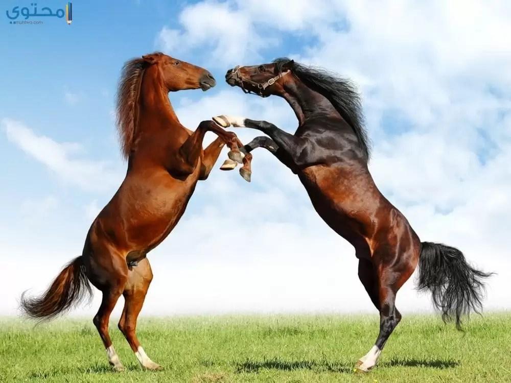 خلفيات وصور خيول عربية أصيلة موقع محتوى